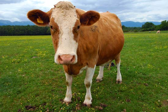 heres my cow he got mad (public domain)